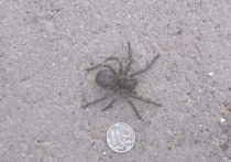 Жители поселка Майский напуганы нашествием огромных пауков