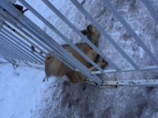 В Ульяновске спасатели вызволили косулю, застрявшую в заборе